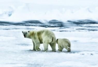 Polárny medveď biely
